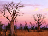 Christopher Groenhout - Boab Trees Fotografická reprodukce