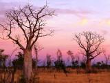 Boab Trees Fotodruck von Christopher Groenhout