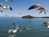 Birds Flying Along Ferry Ride Between Peninsula De Nicoya and Puntarenas. Photographic Print by Christian Aslund