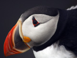 Puffin on Snaefellsnes Peninsula Photographic Print by Douglas Steakley