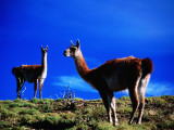 Guanacos Pausing from Grazing Photographic Print by Gareth McCormack