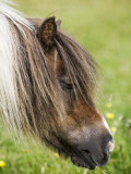 Shetland Pony at Gott Farm Photographic Print by Holger Leue