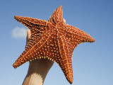 Person Holding Up Large Starfish at Curacao Sea Aquarium, Bapor Kibra Photographic Print by Holger Leue