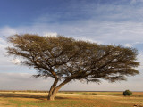 Acacia Raddiana Tree in the Negev Desert Photographic Print by Hanan Isachar
