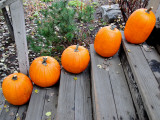 Pumpkins on Steps (Typical Autumn Harvest or Halloween Display) Photographic Print by David Ryan