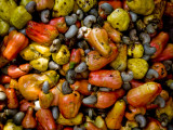 Fermenting Cashew Fruits, with Nut Attached, to Make Fenny at Sahakari Spice Farm, Ponda Photographic Print by Greg Elms