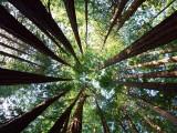 Redwood Grove Fotografisk trykk av Douglas Steakley