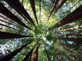 Redwood Grove Fotodruck von Douglas Steakley