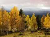 Autumn Yellow Aspens with Snowcapped Fjells in Background Photographic Print by Christer Fredriksson