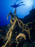 Diver Silhouette over Reef with Large Stand of Scattered Pore Rope Sponge Photographic Print by Michael Lawrence