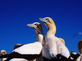 Cape Gannets at Colony Lmina fotogrfica por Frans Lemmens