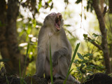 Long-Tailed Macaque Monkeys in Trees Near Park Entrance, Cat Tien National Park Photographic Print by Grant Dixon