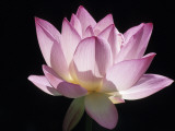 Lotus Flower (Nelumbo Lutea) Reproduction photographique par Holger Leue