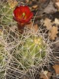 Claret Cup Cactus in Bloom Fotografisk tryk af John Elk III