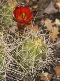 Claret Cup Cactus in Bloom Photographic Print by John Elk III