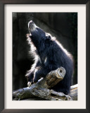 A Sloth Bear Enjoys the Morning Sun and a Passing Group of Tiny Midge Insects Framed Photographic Print