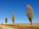 Poplars Lining a Rural Driveway Photographic Print by Oliver Strewe