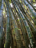 Carved Initials on Bamboo Stalks on the Kalalau Trail Photographic Print by Micah Wright