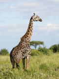 Maasai Giraffe (Giraffa Camelopardalis Tippelskirchi Photographic Print by Ariadne Van Zandbergen