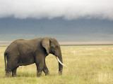 African Elephant (Loxodonta Africana) Fotodruck von Ariadne Van Zandbergen