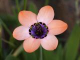 Pale Harlequin Flower (Sparaxis Elegans), Namaqualand Fotodruck von Ariadne Van Zandbergen