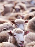 Sheep at Saleyard Fotoprint van Will Salter