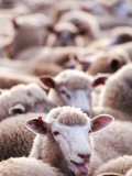Sheep at Saleyard Photographic Print by Will Salter