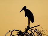 Silhouette of Marabou Stork (Leptoptilos Crumeniferus) Fotografie-Druck von Ariadne Van Zandbergen