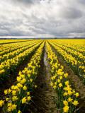 Thomas Winz - Field of Daffodils - Fotografik Baskı