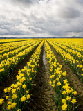 Field of Daffodils Photographic Print by Thomas Winz
