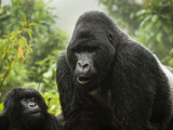 Silverback Agashya and Baby in Group 13 Gorilla Family Photographie par Douglas Steakley