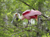 Roseate Spoonbill at Lake Martin Near Breaux Bridge Papier Photo par Sune Wendelboe