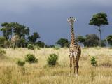 Maasai Giraffe (Giraffa Camelopardalis Tippelskirchi) Fotodruck von Ariadne Van Zandbergen