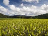 Wet Taro Crops Flourishing in Rich Hanalei Soil at Hanalei Taro Farm Photographic Print by Linda Ching