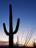 Saguaro Cactus in Tucson Mountain Park Photographic Print by Richard Cummins