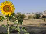 Sunflower Growing at Micro-Oasis of Qasr Al Labakha, Near Al Kharga Photographic Print by Michael Benanav