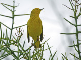 Yellow Warbler (Dentroica Petechia Aureola), Puerto Egas Photographic Print by Manfred Gottschalk
