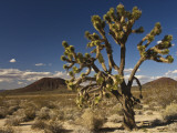 Joshua Tree in Cinder Cone Lava Beds Area from Aikens Mine Road in Mojave National Preserve Photographic Print by Witold Skrypczak