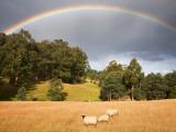 Sheep Grazing under Rainbow Fotoprint van Andrew Bain
