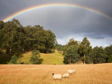 Sheep Grazing under Rainbow Lámina fotográfica por Andrew Bain