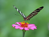 Zebra Longwing (Heliconius Charitonius) Feeding on Nectar of Flower Blossom Lmina fotogrfica por Paul Kennedy