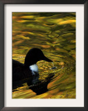 Fall Colors are Reflected in a Pond as a Duck Swims in Milan, Italy, Friday, November 3, 2006 Framed Photographic Print by Luca Bruno