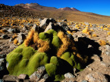 Llareta 14, Lauca National Park, Chile Photographic Print by Woods Wheatcroft