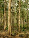 Teak Tree Plantation Photographic Print by Alfredo Maiquez