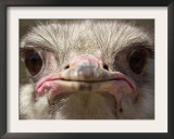 An Adult Female Ostrich at the Vina Grande Farm in Paredes De Escalona, Spain, May 21 2001 Framed Photographic Print by Denis Doyle