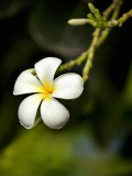 Frangipani Flower Detail Photographic Print by April Maciborka