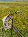 Bicycle and Coolie Hat in Ricefields on Outskirts of Hanoi Photographic Print by Diana Mayfield
