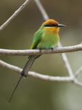 Bohm's Bee-Eater (Merops Boehmi), Liwonde National Park Photographie par Ariadne Van Zandbergen