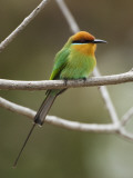 Bohm&#39;s Bee-Eater (Merops Boehmi), Liwonde National Park Photographic Print by Ariadne Van Zandbergen