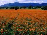 Field of Marigolds Near Mysore Photographic Print by Richard l'Anson